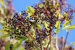 Elderberry: 5 Natural Remedies for Cold and Flu